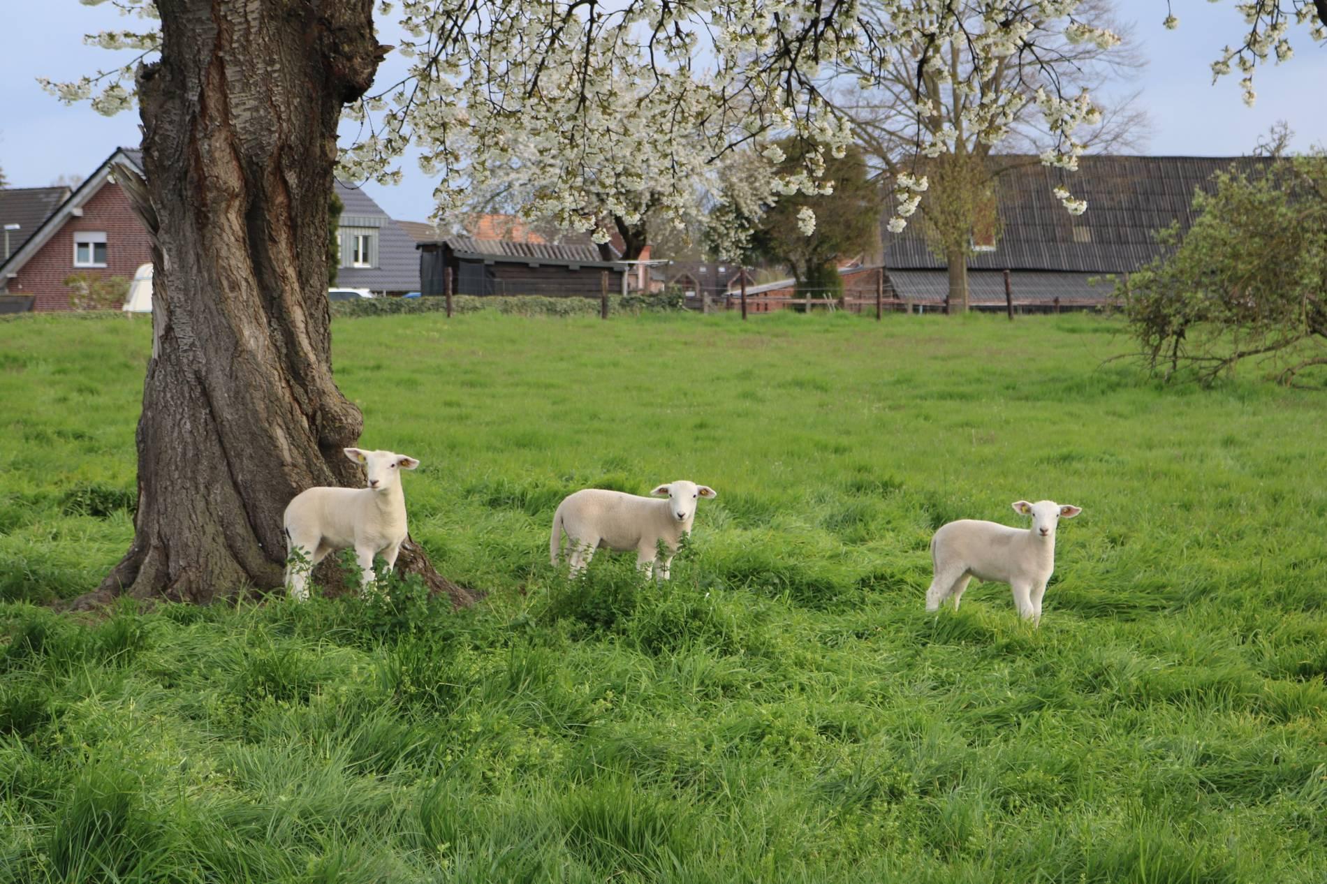 Geliebte Rückkehr zum Ursprung des Schafes: Schafe züchten, die nicht &NO_48