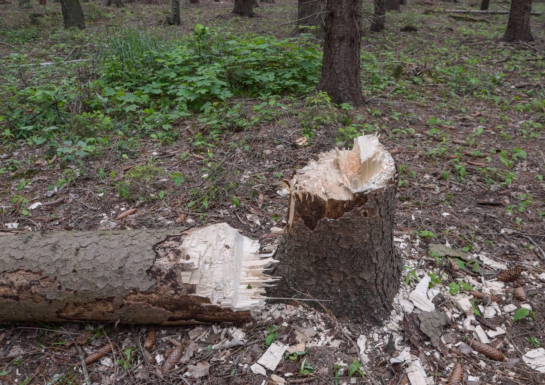 Hambacher Forst Polizei Findet Am Rande Des Waldes Frisch Gefallte Baume
